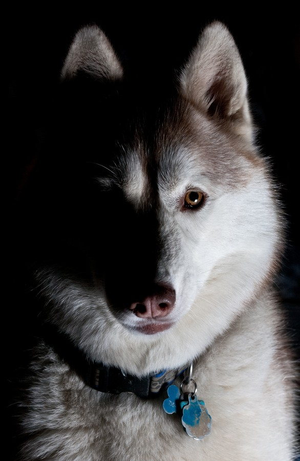 And finally, Vaika, one of my mom's two Siberian Huskies, looking wolfish as ever.